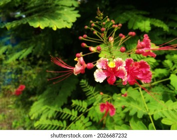 Delonix regia flower (Royal Poinciana, Flamboyant Tree, Flame Tree, Peacock Flower, Gulmohar) in bloom.nature background.
