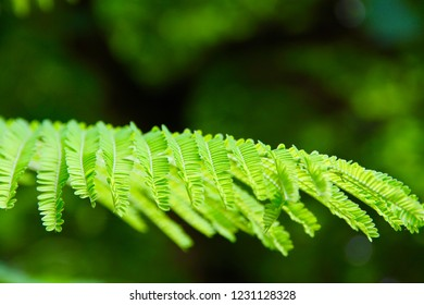 Delonix regia is a flowering plant in the bean family Fabaceae, subfamily Caesalpinioideae, also called royal poinciana or flamboyant, noted for its fern-like leaves and flamboyant display of flowers.