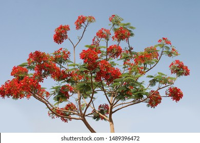 Delonix regia plant with red flowers in Egypt