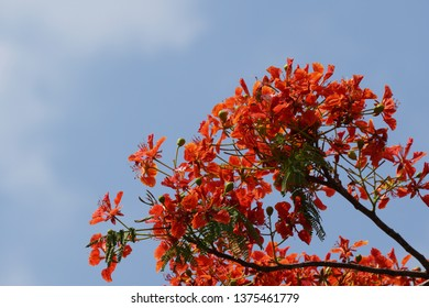 Delonix regia or royal poinciana, flamboyant, flame of the forest