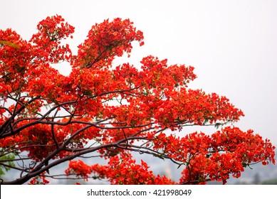 (delonix regia), Royal Poinciana, Flamboyant, Flame tree flower bloom, Parli Vaijanath, Maharashtra, India, South East Asia