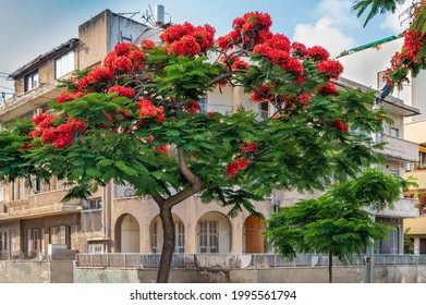 Delonix Regia  ( Royal Poinciana) tree  over Bauhaus style  building  at boulevard Rothschild in Tel Aviv.