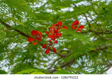 Delonix regia is a species of flowering plant in the bean family Fabaceae, subfamily Caesalpinioideae. It is noted for its fern-like leaves and flamboyant display of flowers.