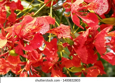 Delonix regia is a species of flowering plant in the bean family Fabaceae.Other names royal poinciana, flamboyant, flame of the forest, or flame tree. Flamboyant display of flowers.
