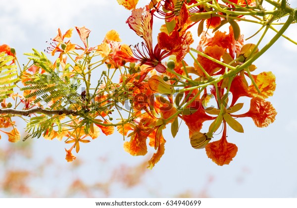 Delonix regia is a species of flowering plant in the bean family Fabaceae, subfamily Caesalpinioideae.  Fern-like leaves and flamboyant display of flowers or royal poinciana or flamboyant.