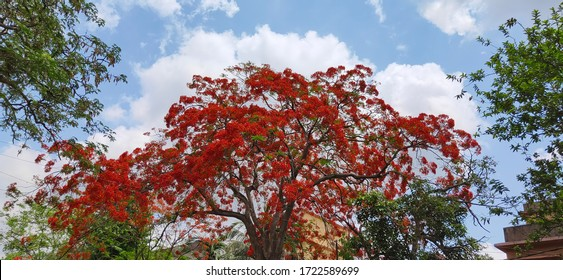 Delonix regiaroyal or Krishna chura or poinciana orflamboyant orflame of the forest orflame tree with clear blue sky