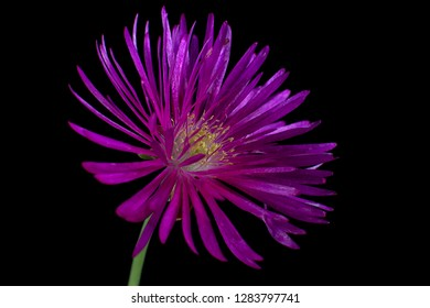 delosperma flower macro details