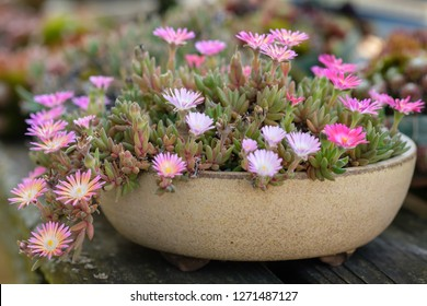 Delosperma plant with purple pink flowers close-up