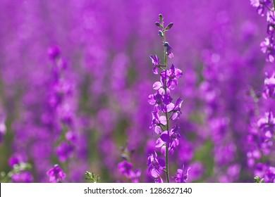 delphinium ajacis purple flowers