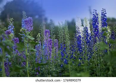 Delphinium blue grows in the garden. Double delphinium blue flower. Delphinium Blue Dawn