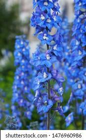 Delphinium cultorum benary's pacific blue bird flowers vertical