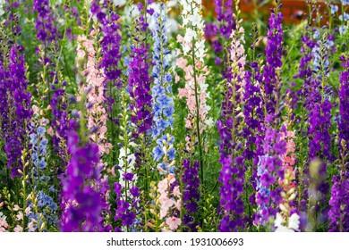 Delphinium elatum close up background. Multicolored Larkspur flowers. Delphinium putple, blue, pink flowers grows in the garden