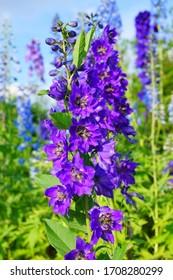 Delphinium Flower in the Garden - Larkspur flowers, Delphinium elatum