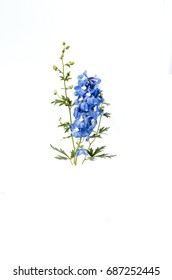 Delphinium flower on isolated white background
