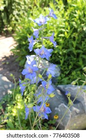 Delphinium flowers bloom in the garden