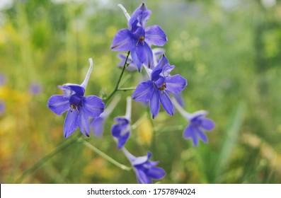 Delphinium grandiflorum blue butterfly flowers on blurred background.