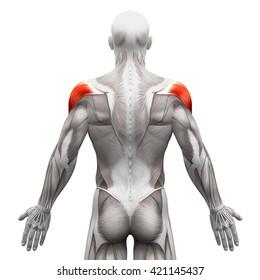 Deltoid - Anatomy Muscles isolated on white - 3D illustration