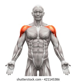 Deltoris Anterior - Anatomy Muscles isolated on white - 3D illustration