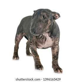 Demodicosis and bull terrier in front of white background