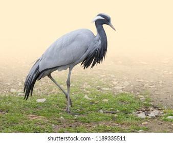 Demoiselle crane on grassy ground in gradient light warm back