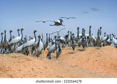 Demoiselle cranes overwintering in Rajasthan - India