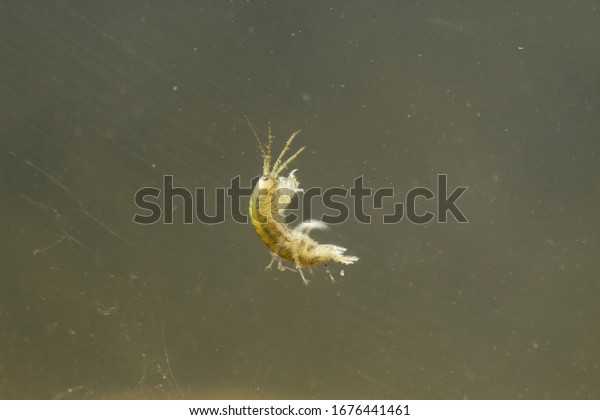 Demon Shrimp swimming in the water
