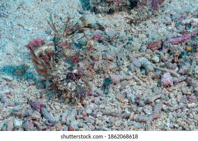 Demon stinger or devil stinger (Inimicus didactylus) Moalboal, Philippines