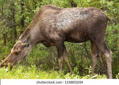 Denail National Park, Alaska. USA. June 30, 2017. Moose female eating. Alces alces