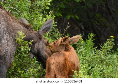 Denail National Park, Alaska. USA. June 30, 2017. Moose female and young eating. Alces alces