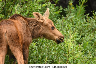 Denail National Park, Alaska. USA. June 30, 2017. Moose calf or young feeding. Alces alces