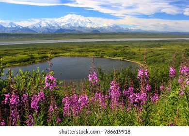 Denali with fireweed in foreground.
