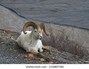 Denali National Park Dall's Sheep