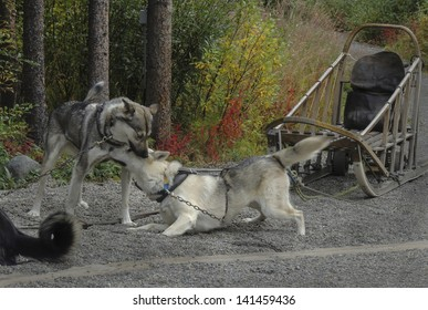 Denali National Park maintains a kennel of sled dogs which during the summer provide demonstrations for park visitors. More importantly their job during the winter is to patrol the park.
