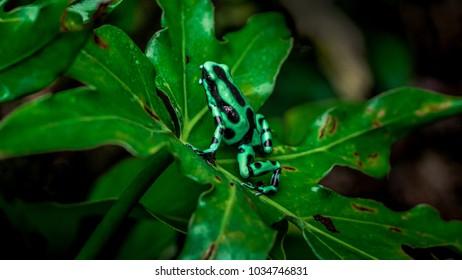 Dendrobates auratus  on leaf in Costa Rica