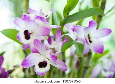 Dendrobium Nobile - a beautiful orchid flower bloom in Spring.