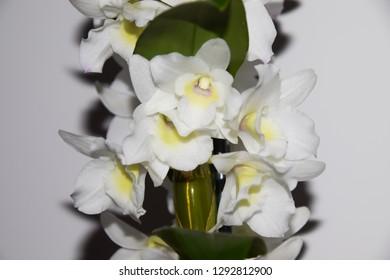 Dendrobium nobile orchid flowers