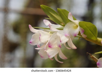 Dendrobium nobile or orchid flowers