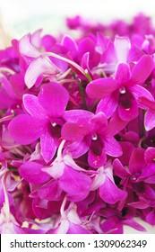 Dendrobium nobile orchid purple flowers soft focus