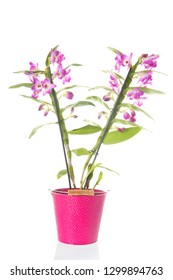 Dendrobium Nobile plant with pink flowers isolated over white background