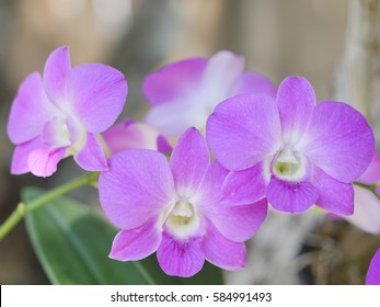 Dendrobium orchid, beautiful purple flowers from the garden