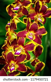 Dendrobium orchid flower- hybrid colorful orchid, orchid isolated, used by ecosystem, ecological, environmental, agricultural and wallpaper concepts