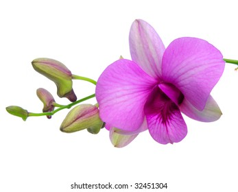 dendrobium orchid flower isolated on  white