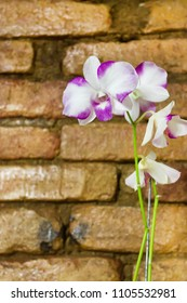 Dendrobium Orchid purple and white background brick wall