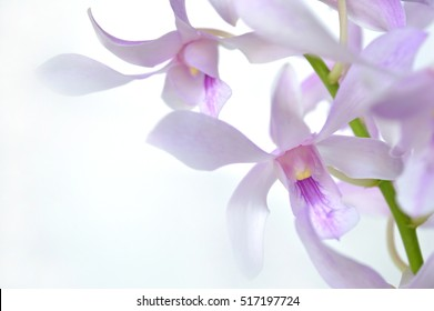Dendrobium orchid, Dendrobium sp., Family Orchidaceae, Central of Thailand