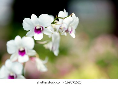 Dendrobium orchid white purple in the nature