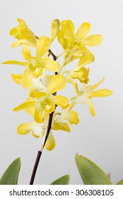 Dendrobium orchid yellow in the nature