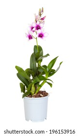 Dendrobium phalaenopsis hybrid orchid in a pot on white a background, it is isolated