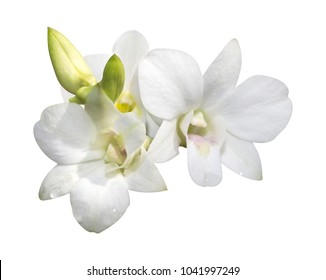 Dendrobium white flower orchid isolated on white background