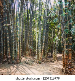 Dendrocalamus asper known as bambu Petung a kind of giant bamboo. It can reach 30 cm in diameter. Usually use as building material.
