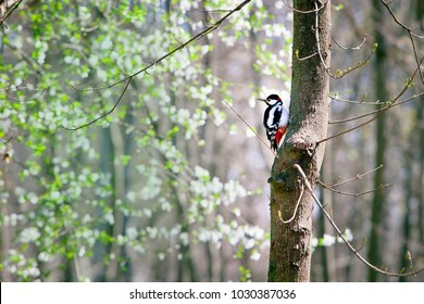 Dendrocopos major woodpecker with a red head sitting on a tree in the Park in the spring on a Sunny day.